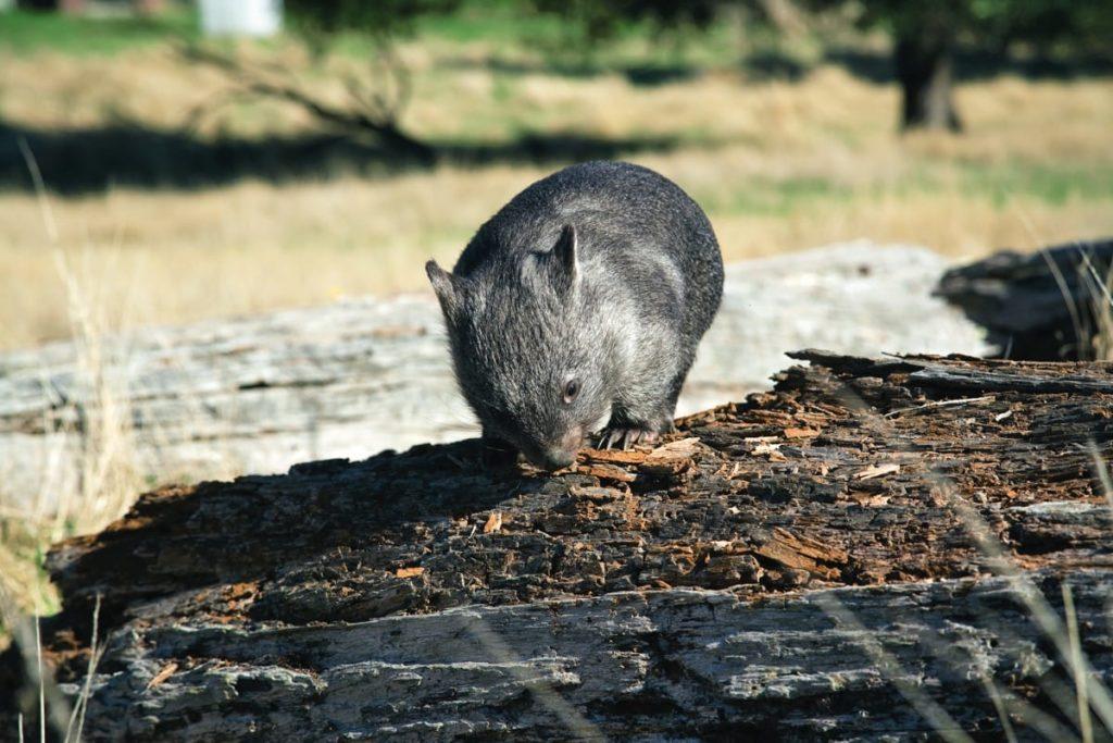 15-_pepperbush_adventures_-_wombat_gallery
